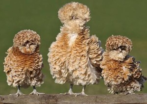 frizzle-chickens